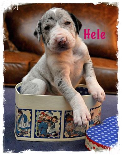 AKC Great Dane Puppies