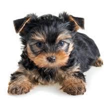 *Top Quality Short Y.o.r.k.i.e puppies(985) 200-6985