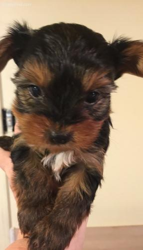 {TEXTME NOW ON (310) 596-2260  Sweet Looking Teacup Yorkies Puppies ready
