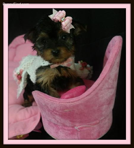 {{'TEXTME NOW ON (310) 596-2260  Sweet Looking Teacup Yorkies Puppies ready