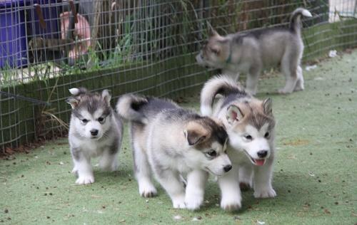 Alaskan Malamute Puppies.
