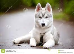 We have beautiful and Cute husky Puppie.s