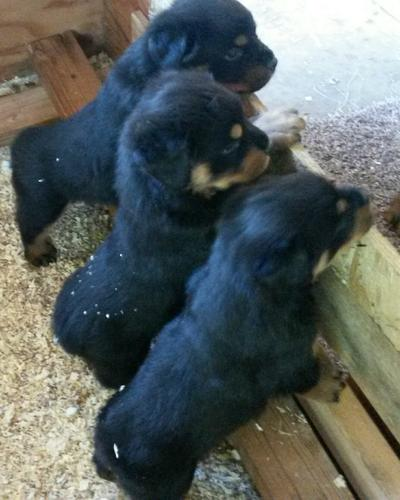 Male AKC Rottweiler Puppies
