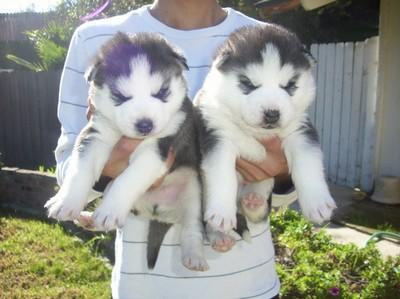 ###Quality siberians huskys Puppies: contact us at (307) 223-9590