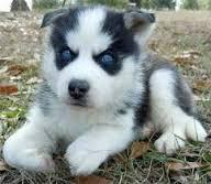 Quality siberians huskys Puppies: