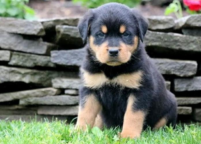 VEE R.o.t.t.w.e.i.l.e.r for Puppies.669) 221-7082