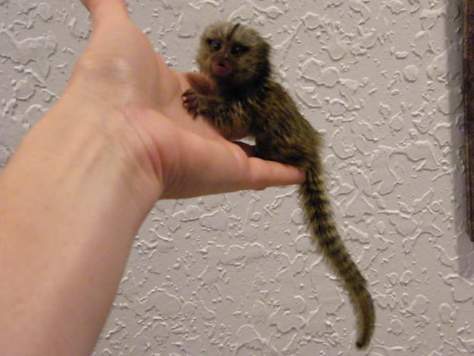 we have marmoset monkeys for adoption , both male and female contact(347) 318-0646