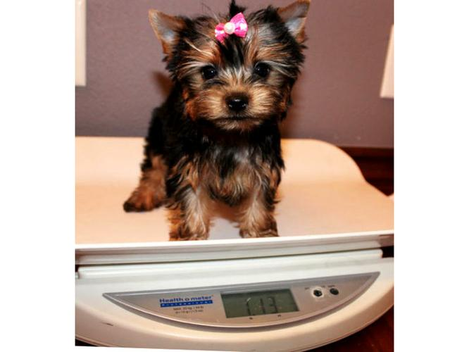 $%???EXCELLENT..FREE..MALE AND FEMALE. ????Tea-cuP????Yorkies%???Pu.ppies%$%$*(415)578-7028