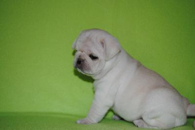 CUTIE P.UG Puppies: contact us at (719) 937-7502