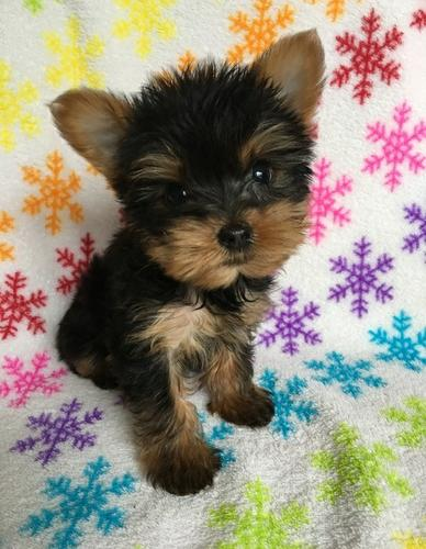 Y.o.R.k.i.e P.upp.i.e.s For F.r.e.e, Ready Now 3 months Old #Contact for more info 678 586 4645