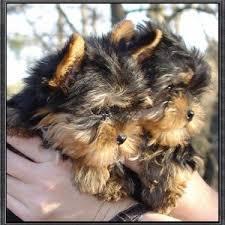 Quality Teacup Yorkies Puppies:.... (323) 905-8807