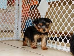 X MASS FREE Akc Charming Tea-Cup Yorkies Pu.ppies Ready for loving home (240) 466-8033