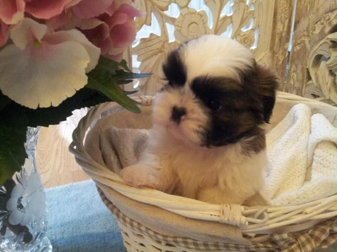 Shih tzu Puppies Availavle. Contact us at(971) 208-9967