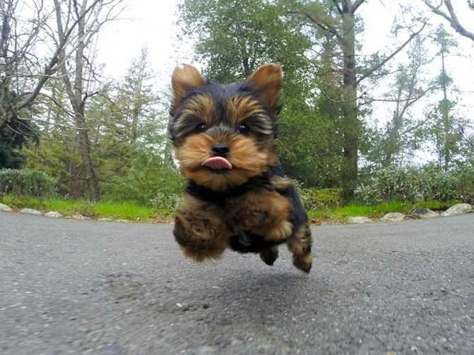 && Teacup Yorkie Puppies Available contact @(757-315-6422)