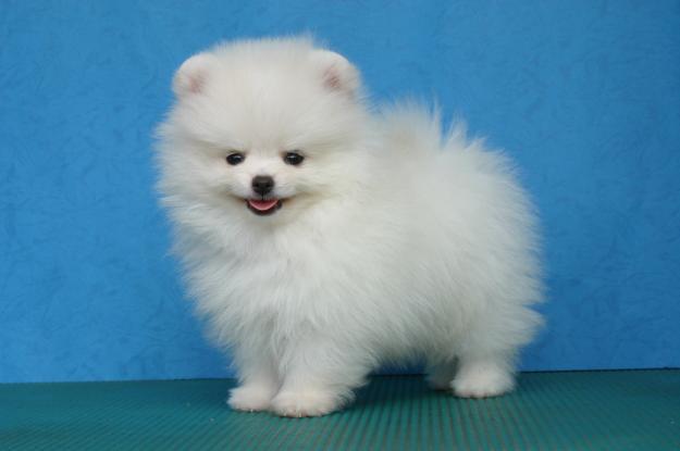 EXCELENT P. o .m. e. r. a. n. i. a. n  Puppie.s for sale(409)420-7820
