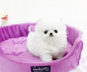 !!Male and Female Pomeranianss Puppies Available (720) 295-2491