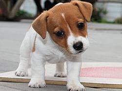 Cute J.a.c.k R.u.s.s.e.l.l puppies!!!sms (360) 207-4093