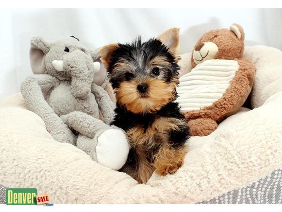 Precious Yorkies pups..SMS me @ (732) 965-7775