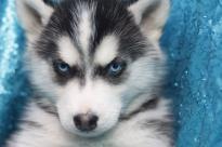 *Top Quality S.i.b.e.r.i.a.n H.u.s.k.y puppies
