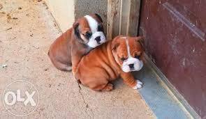 E.N.G.L.I.S.H B.U.L.L D.O.G puppies 450$.contact us at (914) 458 3122 for more details