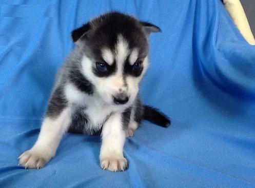 Cute S.i.b.e.r.i.a.n H.u.s.k.y puppies!!!sms (302) 583-3992