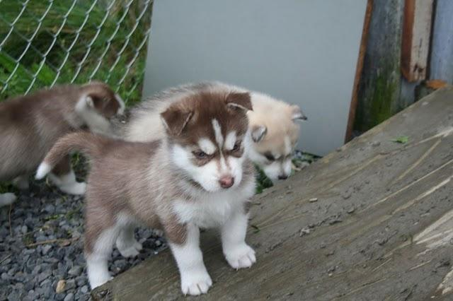 One male and one female Siberian Husky puppies for sale+