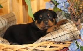 Astonishing Rottweilers Puppies (651) 347-6712