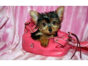 Sweet Cute Quality Y.o.r.k.i.e P.u.p.s(501) 503-3963