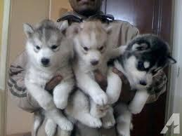 FREE Quality siberians huskys Puppies:contact us at(707) 840-8141