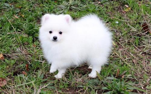 Adorable P. o .m. e. r. a. n. i. a. n  Puppie.s for sale(409)420-7820