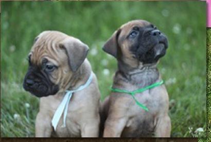 Quality bull mastiff Puppies:***Tex(410) 406-7653