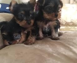 FREE Female and Male Y.o.rkkies Pu.pp.ies in need of a good home(901) 504-5637