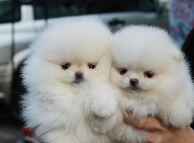 !!Male and Female Pomeranianss Puppies Available 435 633 8760