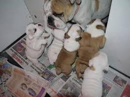 Quality English Bulldogs Puppies:.... (317) 643 0215