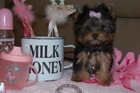FREE Teacup Y.o.r.k.i.e Puppies For FREE Rehome Contact#. 301 *882 *2320*..;'; .Males and females av