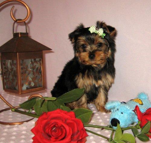CUTE Y.O.R.K.I Puppies: contact us at (203) 296-0014
