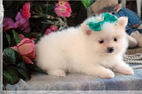 Sweet .Mini P.o.m.e.r.a.n.i.a.n puppies!!!sms (334) 392-4897