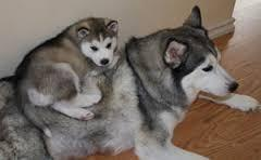 Quality siberians huskys Puppies:contact us at(301)690-0247