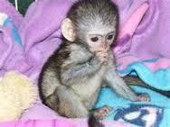 Beautiful Capuchin Monkeys for Adoption....................