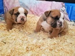 FREE*FREE # # ??? Quality E G N L I S H BU L LD OG Puppies:....(301) 463-7620???**
