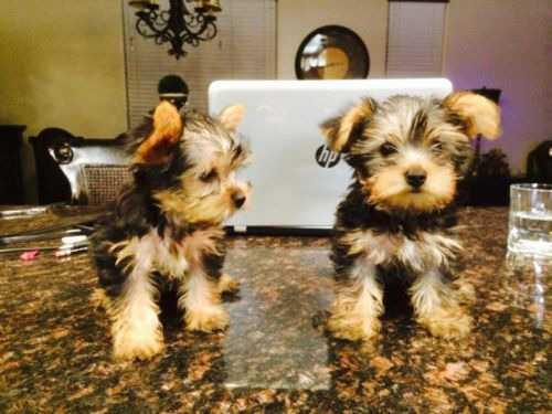 ?Y.o.R.k.i.e P.upp.i.e.s For F.r.e.e, (678)-562-5932/Ready Now 12 Weeks Old #