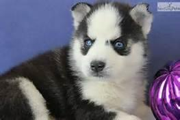 Blue Eyes G.orgeous S.I.B.E.R.I.A.N H.U.S.K.Y Pu.ppies ) Need Home(734) 400-0755