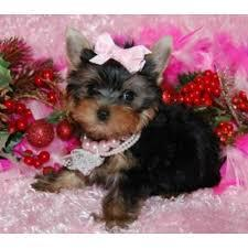 $%???EXCELLENT..CHARMING..MALE AND FEMALE. ????Tea-  cuP????Yorkies%???Pu.ppies%$%$*(404) 827-8596