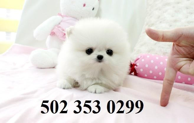 Healthy P.O.m.A.R.A.N.I.A.N puppies!!!(502) 353 0299