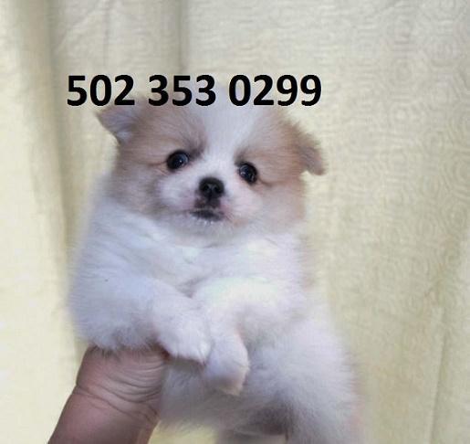 Healthy P.O.m.A.R.A.N.I.A.N puppies!!!(502) 353 0299