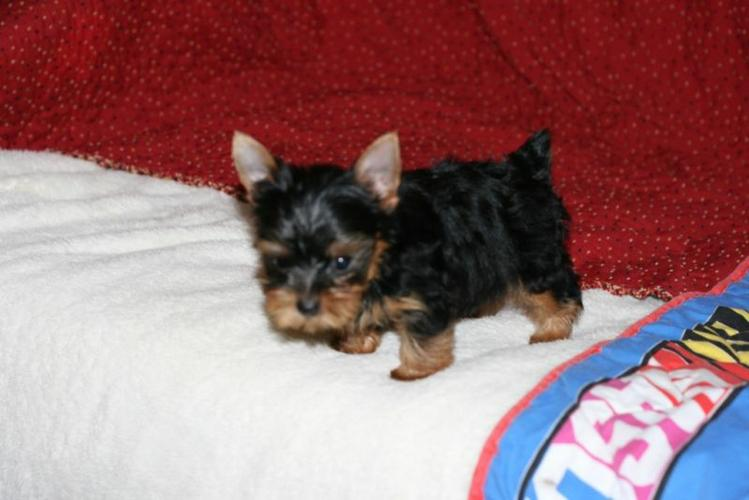 AKC Yorkshire puppies