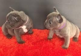 frenchie pups**for rehoming (770) 966-3798