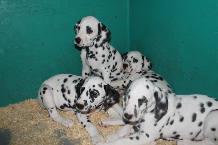 100% Dalmatian Puppies for  rehomming +1 (518)872-8075