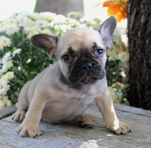 FREE Beautiful French Bull Dog Pu.pp.ies Available (612) 444-0956