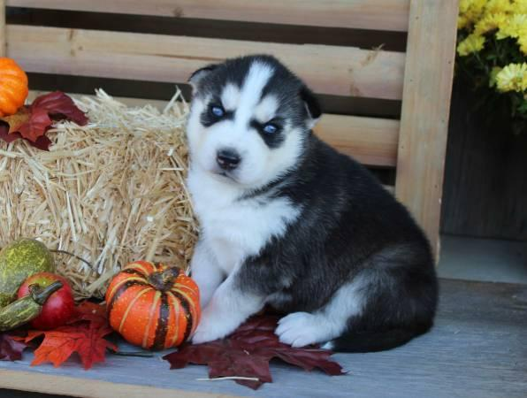 amazing pomsky puppies for loving homes 4045947728